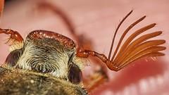 cockchafer, Melolontha melolontha, close-up (David_W_1971) Tags: raynox dcr150 smog2015