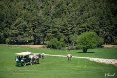 JPC_1062-2 (jp.clement12) Tags: horse mountain green nature water forest montagne reserve doe bison preserve mont forêt verdure chevaux plaine dazur biche gazon