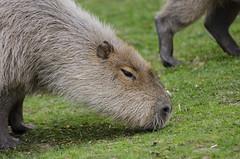 Capybaras rule (flailing DORIS aka Fur Will Fly) Tags: uk cute nature animal rodent kent wildlife howletts capybara