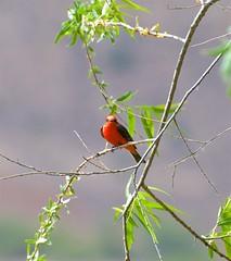 Like An Ornament (hecticskeptic) Tags: arizona birds spring woodpecker squirrel hummingbird desert cardinal nogales birding az deer hummingbirds morgan californiadesert maderacanyon arizonadesert southernarizona mexicanjay eleganttrogon lakepatagonia markmorgan markamorgan