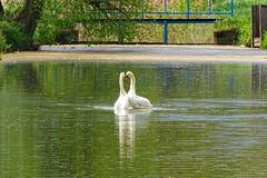 love love love (JoannaRB2009) Tags: love nature water birds reflections river spring couple poland polska swans lodzkie dzkie sarnw bedwka