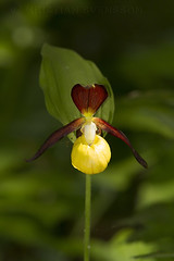 Eurasian Yellow Lady's Slipper (Cypripedium calceolus) (macronyx) Tags: flowers plants plant orchid flower nature blommor vxter cypripedium orkide yellowladysslipper cypripediumcalceolus vxt guckusko eurasianyellowladysslipper