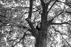 Juul (CarolienCadoni..) Tags: blackandwhite tree netherlands cat photography dof bokeh nederland drenthe 50mmf14 sal50f14 nieuwbuinen sonyslta99