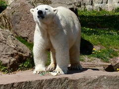 Vera - Charlotte - Eisbren - Tiergarten Nrnberg (ElaNuernberg) Tags: zoo polarbear ijsbeer eisbr zooanimals zootiere jkaru tiergartennrnberg ourspolaire orsopolare nurembergzoo niedwiedpolarny eisbrvera eisbrcharlottealiaslottchen