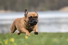 flying french bulldog (Bea Antoni) Tags: dog pet canon zoom action bulldog hund frenchbulldog haustier zoomlens bulldogge canonef70200mmf4lisusm franzsischebulldogge canoneos7dmarkii