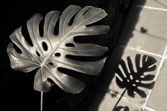 (Ivn Rubn) Tags: old light shadow brown luz caf monochrome sepia plantas time sombra nostalgia rincones instant delicate abstracto viejo abstarct longing corners tiempo instante monocromtico delicado nimio
