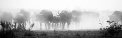 In The Rush Hour (philnewton928) Tags: africa wild blackandwhite bw nature monochrome animal southafrica mammal outdoors buffalo nikon outdoor wildlife safari animalplanet krugernationalpark capebuffalo kruger mopani synceruscaffercaffer d7200 nikond7200