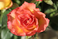 Rose (Eddie Crutchley) Tags: flowers sunlight nature beauty rose garden simplysuperb