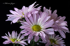 Pushing for Room 0508 Copyrighted (Tjerger) Tags: pink portrait white plant black flower macro green nature beautiful beauty yellow closeup blackbackground wisconsin petals spring flora purple natural room cluster group stems bunch daisy bloom tinted pushing