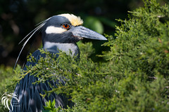 Yellow-crowned Night Heron - 12 (RGL_Photography) Tags: heron birds us newjersey unitedstates wildlife oceancity ornithology mothernature rookery squawk yellowcrownednightheron nyctanassaviolacea wadingbirds capemaycounty migratorybirds wildlifephotography nikond500 greateggharborbay americannightheron littlefingerchannel staintonmemorialcauseway nikonafs200500mmf56eedvr