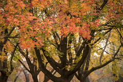 Through the leaves (Eduardo_il_Magnifico) Tags: autumn trees red orange colour tree leaves yellow dof seasons branches newengland australia depthoffield nsw newsouthwales goldenhour armidale sigma35mmf14 nikond750