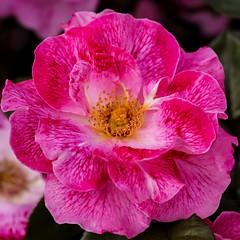 refulgente (R.Duran) Tags: madrid espaa flower rose spain nikon espanha europa europe flor rosa espagne rosegarden rosaleda parquedeloeste nikon105f28macro d7200