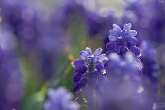 campanelle (baudinellistefania) Tags: natura botanico fiore viola orto polline fioritura campanella