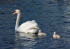 Swan Pen and her cygnets (jmaxtours) Tags: lake pen swan babies lakeontario mississauga cygnets portcredit snugharbour mississaugaontario swanpenandhercygnets snugharbourportcredit