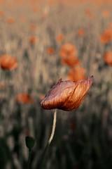 solo (lauretta michelutti) Tags: estate di campo fiore rosso allaperto profondit