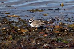 Common Ringed Plover at Revtangen S24A9183 (grebberg) Tags: bird norway may plover jren rogaland 2016 wader klepp commonringedplover charadriushiaticula charadrius revtangen