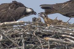 06/12/16 (turtlehawk) Tags: birds wildlife bethanybeach bluecoast ospre