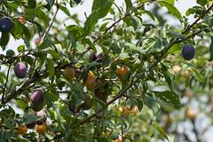 ckuchem-1548 (christine_kuchem) Tags: gelb blau domestica mirabelle obstbaum zwetschge syriaca pflaume rosengewchs unterart gelbezwetschge echtezwetschge prunusdomesticasubsp