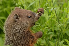 Innocence (Slow Turning) Tags: flowers summer food garden rodent eating woodchuck groundhog vegetation southernontario forage foraging whistlepig marmotamonax knautiamacedonica