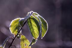 ckuchem-6337 (christine_kuchem) Tags: blten eiskristalle frost garten kristalle nahrung naturgarten samenstnde stauden vogelnahrung vogelschutz vgel wildgarten winter wintergarten winternahrung naturbelassen naturnah natrlich reif schnee berzogen