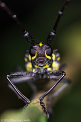 Longhorn Beetle (Tom's Macro and Nature Photographs) Tags: macrophotography insects beetles coleoptera longhornbeetle cerambycidae antenna peru amazon rainforest