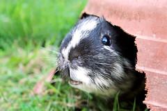 Titi (Mariie76) Tags: animaux rongeur cochondinde cobaye petit mignon noir beige gros museau coucou caché pot de fleur rongé jardinière maison cachette herbe nature verdure tonte