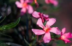 _DSC0193-Modifier.jpg (xpressx) Tags: bokeh 50mm nikon flowers passionphotonikon fleurs nd4 18 parc photographe lightroom nikond5000 nd8 nikkor flore d5000