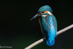 The Kingfisher (nick.bond@rocketmail.com) Tags: england unitedkingdom greatharwood kingfisher nickbond nickbondgreatharwood nature naturephotographer