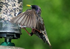 Trying to keep his balance! (David Blandford photography) Tags: wildlife starling hampshire trust isle wight blashfordlakes