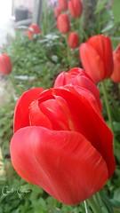 (ccetn) Tags: flowers red floral spring tulips trkiye antalya bahar krmz laleler