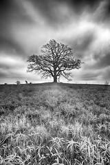 Spring Tree, B&W version (mckenziemedia) Tags: sky white black tree field grass canon silver eos oak mark iii pro l 5d ef 1740mm hdr efex