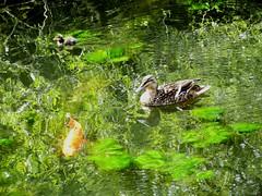 Mallards &Goldfish, the moat, Little Moreton Hall (robin denton) Tags: duck goldfish mallard moat nationaltrust canonpowershotsx40hs