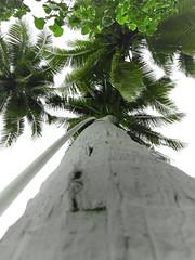 reto semanal 111: uno (JohanMoscosobta) Tags: travel viaje sky verde green painting colombia paradise coconut palm photographs coco cielo tropical fotografia paraiso melgar tierra pasion efecto photografy amaizing