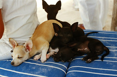 Perritos (Vegas Mellor) Tags: sea chihuahua cute film beach dogs nature analog 35mm puppy mexico paradise sweet tulum playa sleepy perros caribbean analogue tulumbeach quintanaroo analogic caribbeansea goodvibes caribemexicano dogslovers