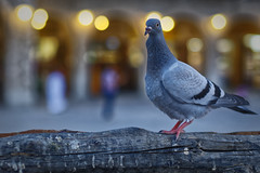 _R5A0247_DxO (Mohamed Abdelrazek) Tags: pigeon 5dmarkiii