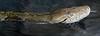 Malayopython reticulatus (JGOM) Tags: netherlands zoo arnhem nederland burgers burgerszoo dierentuin dierenpark reticulatedpython burgersdierenpark malayopythonreticulatus
