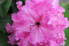 IMG_2996.JPG (robert.messinger) Tags: flowers rhodies