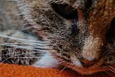R.i.P February 1999 - May 2016 ([gegendasgrau]) Tags: brown detail love nature face closeup cat hair nose sadness beige chat gesicht mood moody colours natur atmosphere forever katze braun melancholy nase tristesse closer ambiance haare schnurrbart 2015 melancholie atmo