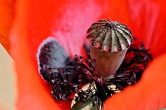 Klatschmohn / Papaveraceae (Sigi.Ludwig) Tags: red flower macro rot nikon poppy blume makro d800 papaveraceae carlzeiss klatschmohn mohnblume carlzeissjena makroplanart2100 makroplanar1002zf2