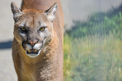 That stare (jeff's pixels) Tags: animal mammal nikon lion d750 cougar mountainlion