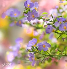 Floral Parallels (Mia Carrera) Tags: pink green fleur field rose yellow jaune de spring purple violet vert mauve hanging printemps depth champ parallele tige profondeur petale
