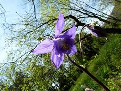 Ancolie sauvage (brigeham34) Tags: france fleur rando eu avril printemps languedocroussillon hrault combes beautemps caroux fz45 fortdescrivainscombattants ancoliesauvage