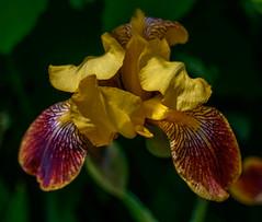 Yellow Flower (vernonbone) Tags: ontario macro garden lens outside backyard nikon sigma d3200 may2016 marco105mmsigma