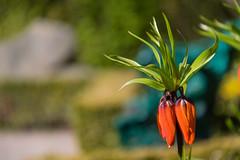 Flower (Infomastern) Tags: flower ystad blom