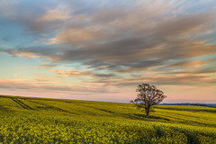 At the End of the Day (Jerry Fryer) Tags: pink blue tree yellow clouds oak dusk curves hard tracks meadow lee lone flowering crops filters rollinghills lightroom rapeseed ef24105mmf4l 6nd 5dmk2 wiltshirehills