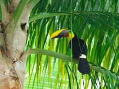 P4278791 (lychee_vanilla) Tags: bird animal toucan costarica tier tucn blackmandibledtoucan ramphastosambiguus vigel quioro tucnpiconegro