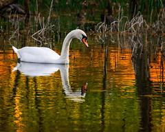 Schwan im Moorgebiet Serrahn / Mritz-Nationalpark (wiwenir) Tags: deutschland 2016 mritznationalpark serrahn moorsteg