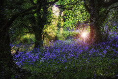 A Place of Fairies (Shastajak) Tags: trees bluebells flare ecclesbourneglen sliderssunday colorefexpro4 photoshopcc