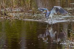 Tricolored Heron (Stephen J Pollard (Loud Music Lover of Nature)) Tags: tricoloredheron egrettatricolor garzatricolor garcetatricolor aveplayera shorebird bird ave nature naturaleza fauna wildlife