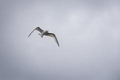 Seagull (Doug's Photography) Tags: ny newyork bird birds outdoors nikon wildlife longisland 300mm fullframe coldspringharbor d610 nikon300mmf4afs nikond610
